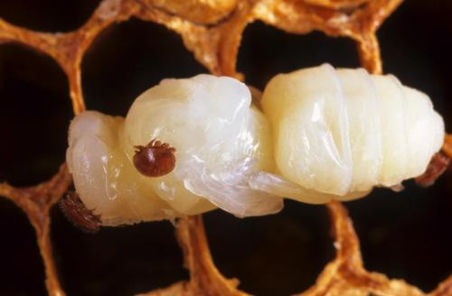 varroa mite on pupa